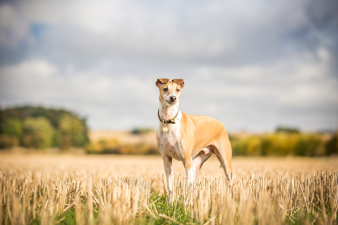 Frank | Countryside Session  | Dog Photography Bedfordshire