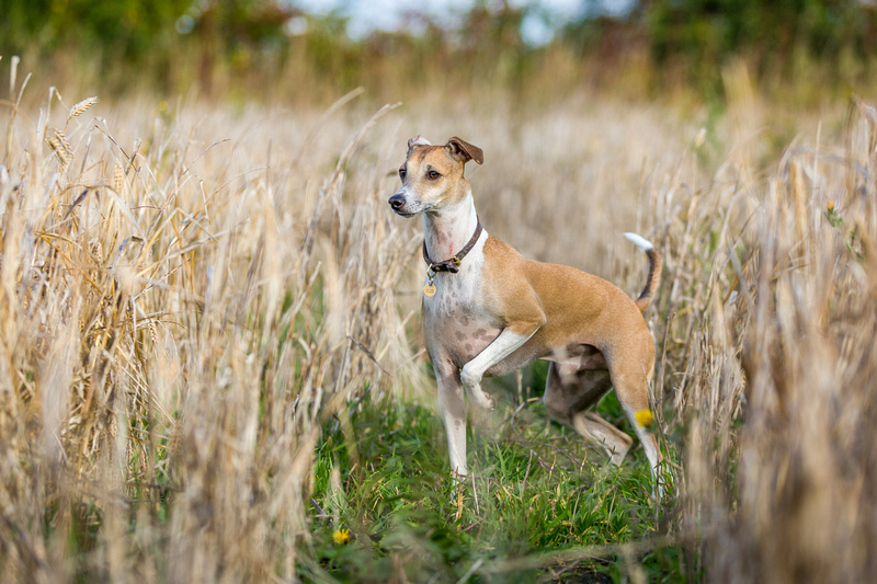 Frank   Countryside Session    Dog Photography Bedfordshire
