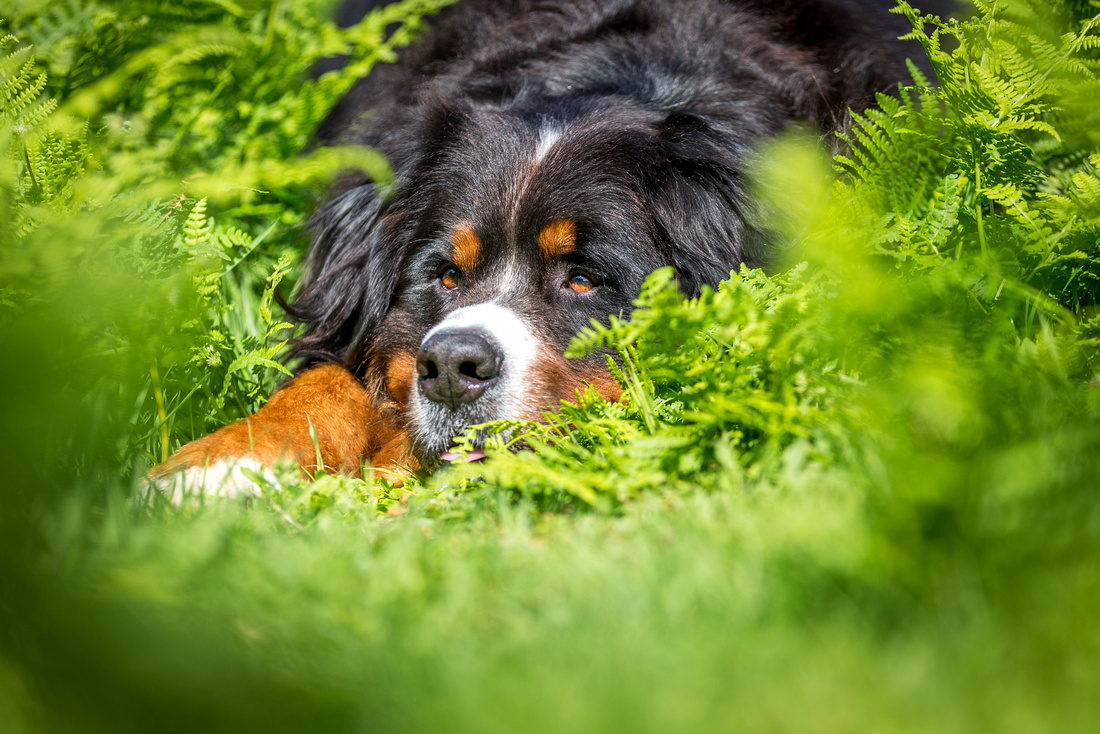 Berkley | Dog Photography Ampthill, Bedfordshire