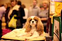 Crufts 2015 | Toy and Utility Dogs 2015 12