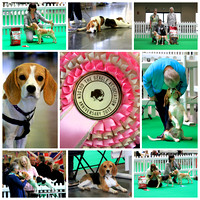 50th Anniversary Beagle Association Show 2012