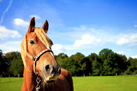 Professional Equine Photography Bedfordshire,  London, Buckinghamshire and Hertfordshire