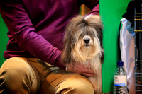 Crufts 2015 | Toy and Utility Dogs 2015 8