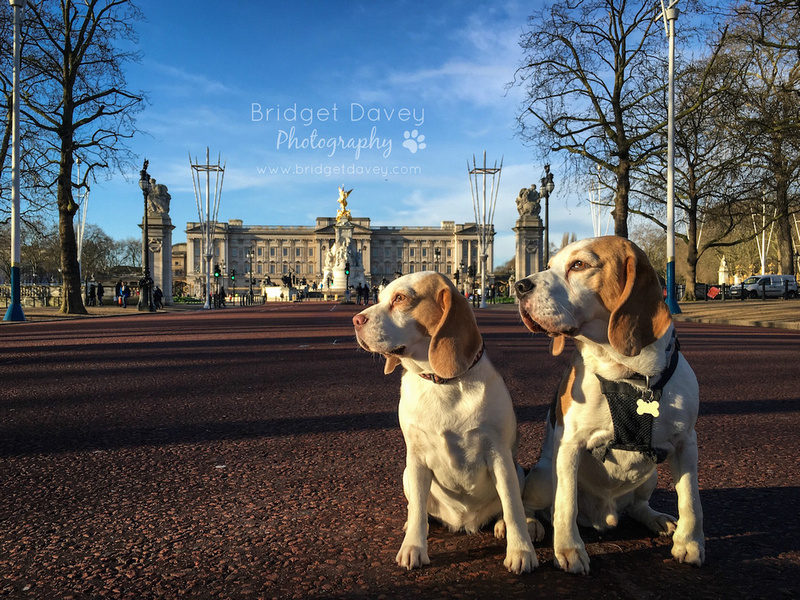 The Beagles | Dog Photography Bedfordshire and London15