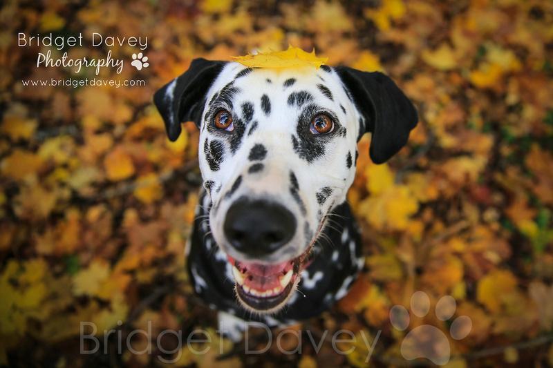 Domino | Dog Photography Bedfordshire