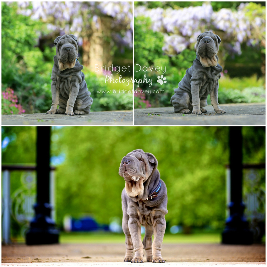 Beau | Dog & Pet Photography London
