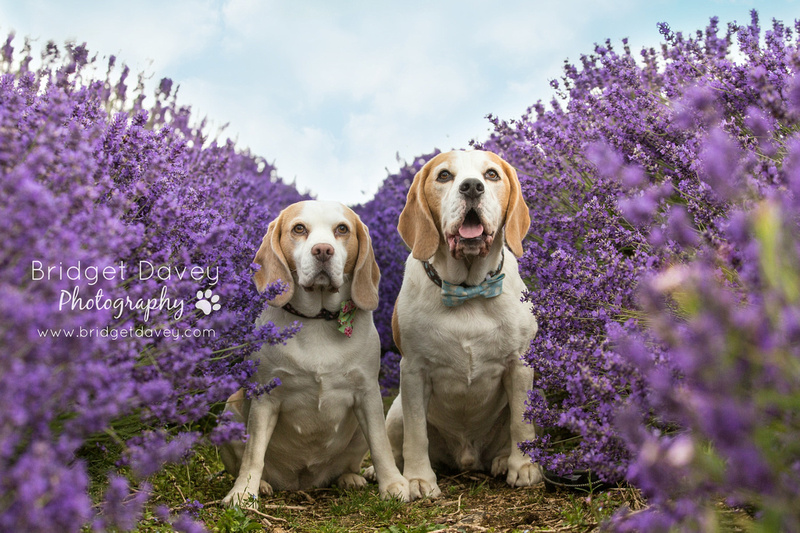 The Beagles  Dog Photography Cotswolds & London