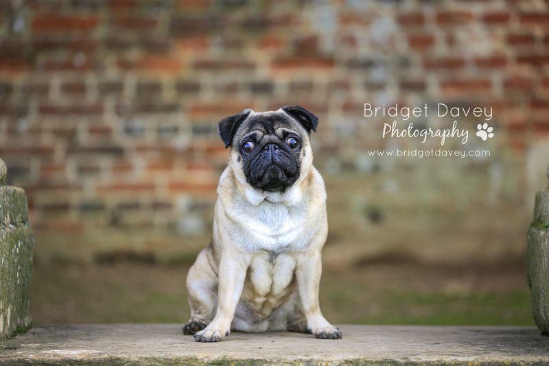 Milo | Dog Photography Ampthill, Bedfordshire6