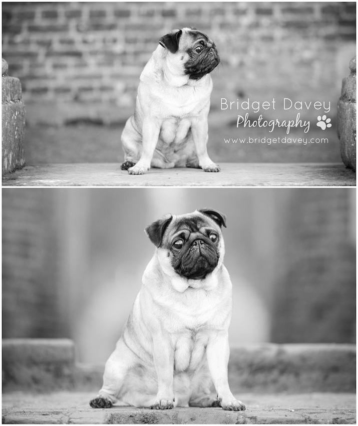 Milo | Dog Photography Ampthill, Bedfordshire1