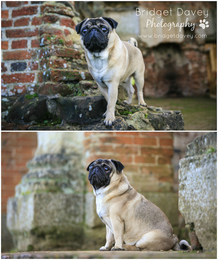 Milo | Dog Photography Ampthill, Bedfordshire2