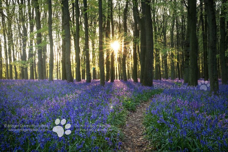 Bluebell Woods Ashridge | Hertfordshire, England