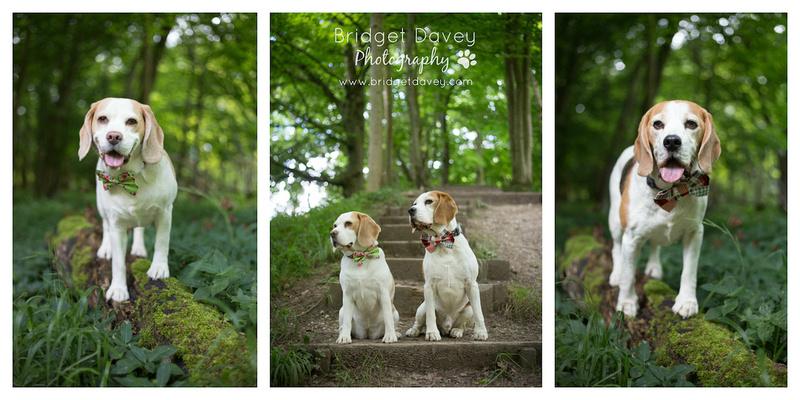 The Beagles | Dog Photography Buckinghamshire