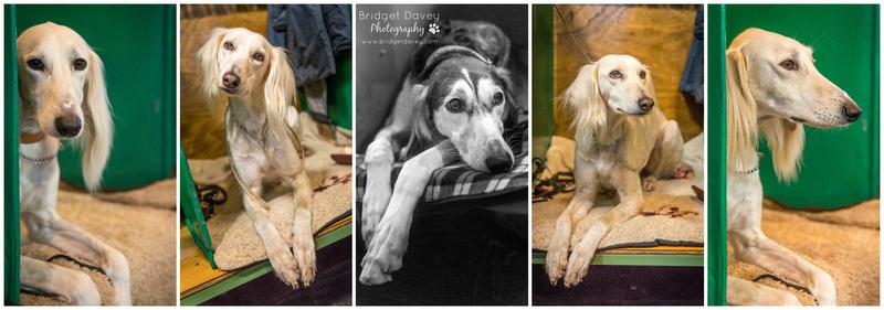 Crufts 2017 - Beagle Day