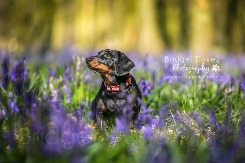 Harvey & Bentley   Dog Photography Bedfordshire