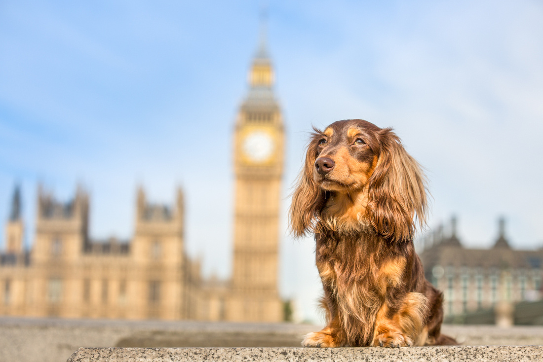 London Signature Session - Huxley Hounds