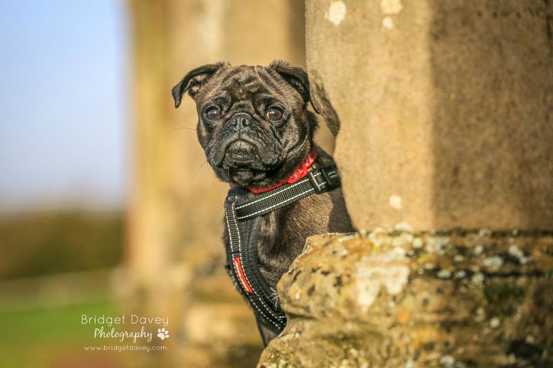 Troy | Dog Photography Ampthill, Bedfordshire