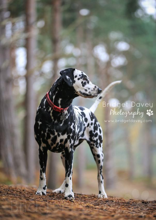 Domino   Dog Photography Bedfordshire