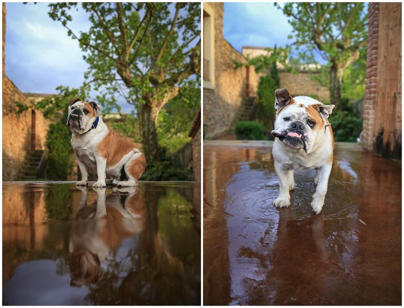 Barkelona | Bridget Davey  - London Dog Photography.