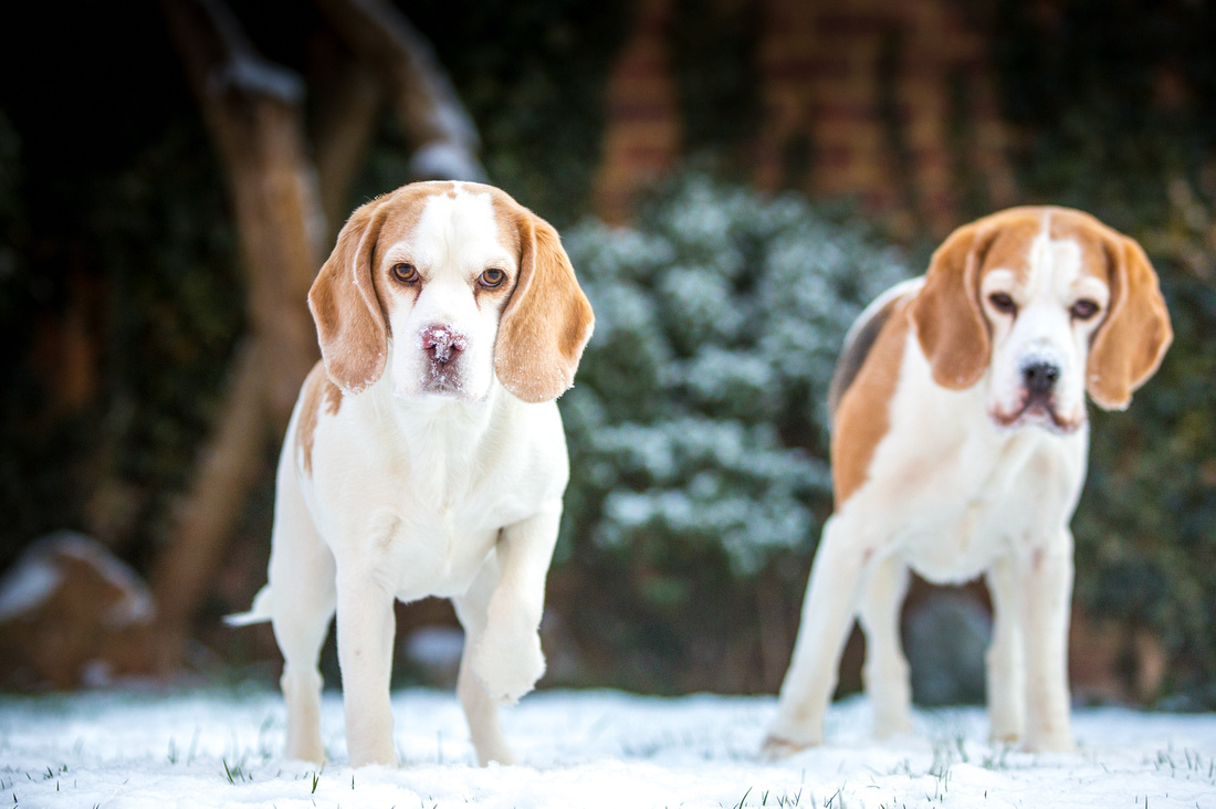 Snow Dogs | Dog Photography Bedfordshire