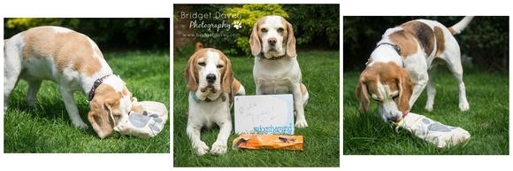 The Beagles | London Dog Photography