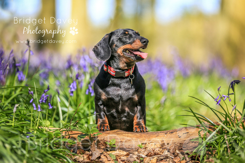 Harvey & Bentley | Dog Photography Bedfordshire