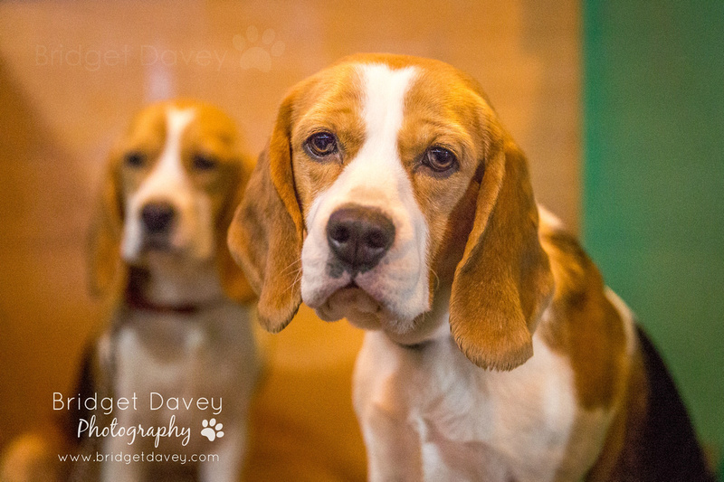Crufts 2017 - Beagle Day