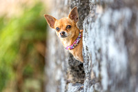 Chihuahua | Dog Photography Bedfordshire, Buckinghamshire, Hertfordshire & London