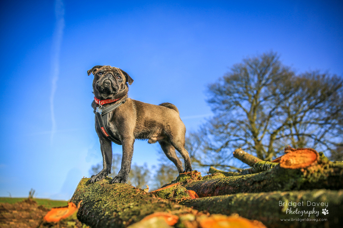 Troy | Dog Photography Ampthill, Bedfordshire
