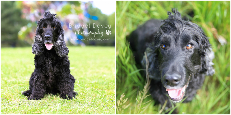 Buddy | Dog Photography | Professional Photos of your Dog in and around London, Bedfordshire, Buckinghamshire, Hertfordshire 7