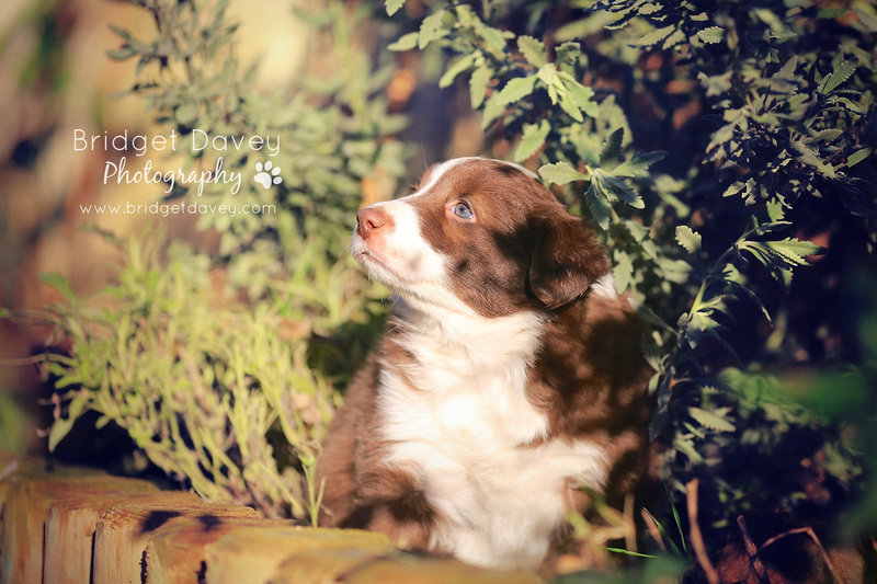 Border Collie Puppies | Dog Photography | Professional Photos of your Dog in and around London, Bedfordshire, Buckinghamshire, Hertfordshire
