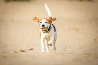 Beagle running on the Beach with ball