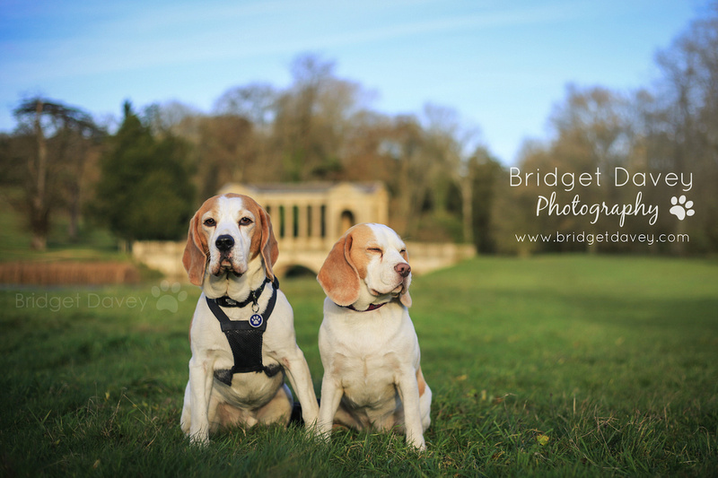 The Beagles | Dog Photography Stowe, Buckinghamshire