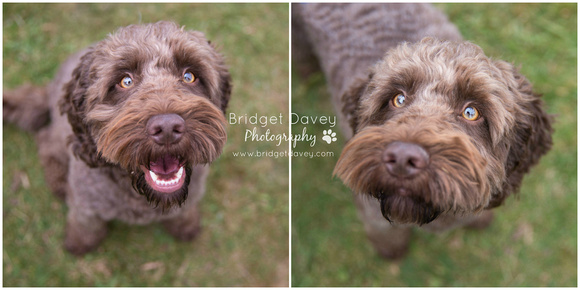 Rushmere Dog Show 2016 | Bridget Davey - Professional Dog Photography Bedfordshire