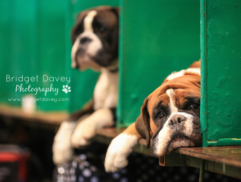 Crufts 2016 | Working and Pastoral Dogs | NEC Birmingham4