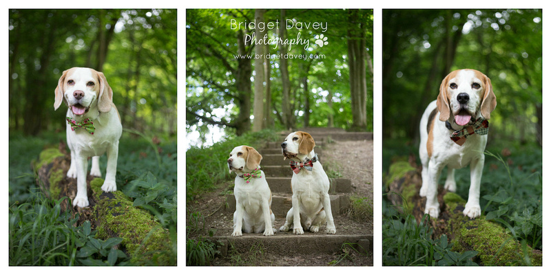 The Beagles | Dog Photography Buckinghamshire