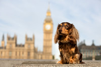Longhair Dachshund | Dog Photography Bedfordshire, Buckinghamshire, Hertfordshire & London