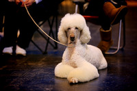 Crufts 2015 | Toy and Utility Dogs 2015 1