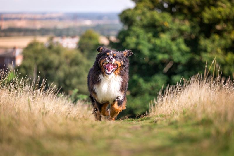 Berkley   Dog Photography Ampthill, Bedfordshire